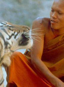 Les Petits Bouddhas et les tigres