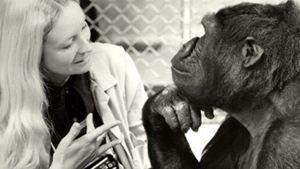 Décès de Koko, la célèbre femelle gorille immortalisée par Barbet Schroeder à l