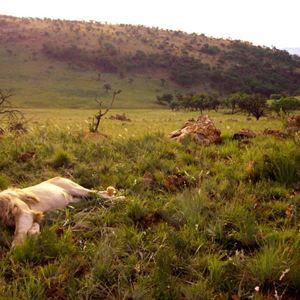 White Lion : Photo