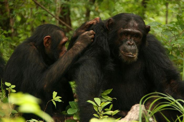 Jane Goodall : retour à Gombe : photo