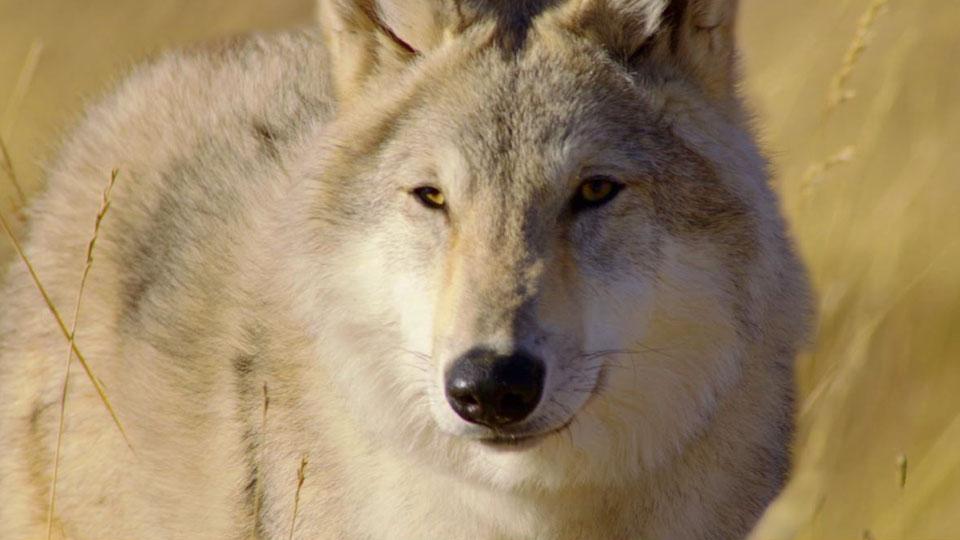 faire quand rencontre loup